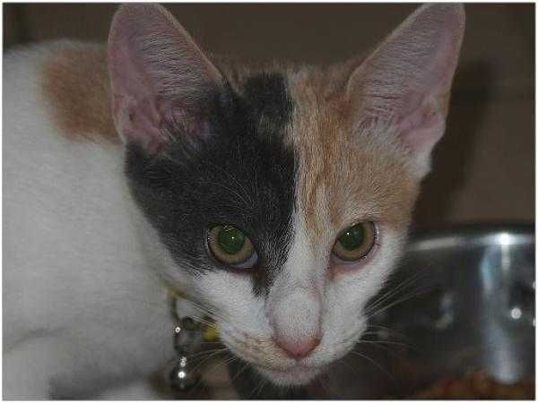 Adopt A Cat Or Kitten Dch Animal Adoptions Have Beautiful Kittens