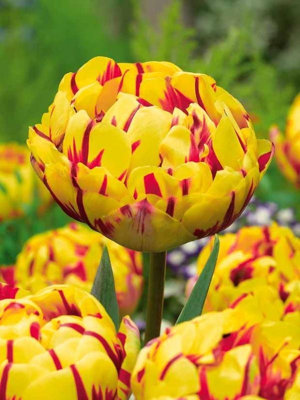 #Tulipes à fleurs de pivoine 'GoldenNizza' | Fleur pivoine ...