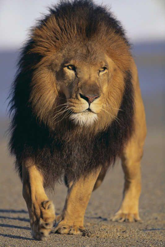 обладают живая картинка лев понадобятся средства оформление