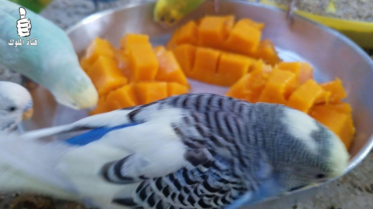 دلع طيورك البادجي بهذه الوجبة الخفيفة حتى مرة بالشهر Budgies Parrot Bird