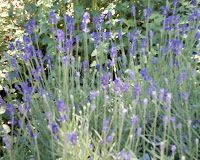 """The Cup That Cheers: A springtime Victorian craft: lavender """"bottles""""."""