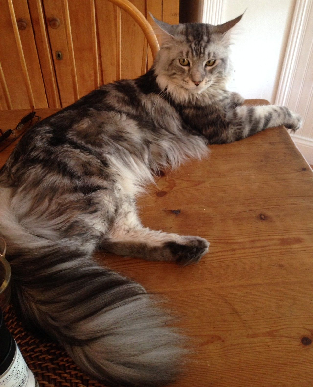 mostlycatsmostly:  Hi! This is my mom's silver striped Maine Coon, Sonny. (submitted by Crafts and Cats)