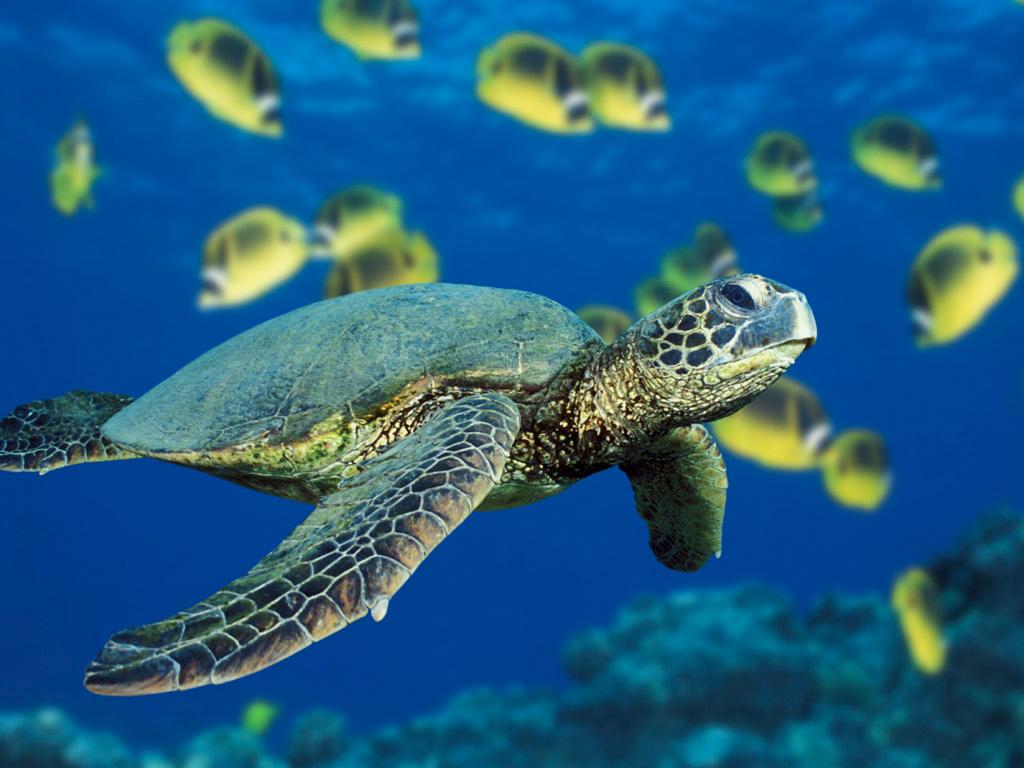 Green Sea Turtle 1 024 768 Pixels