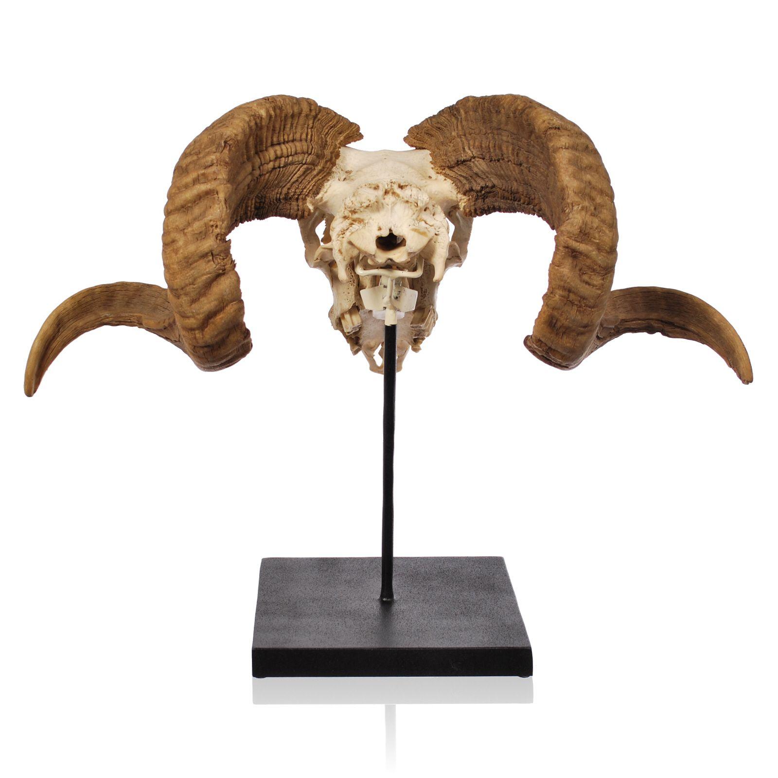 https www google ca search q u003dram horns project cattle