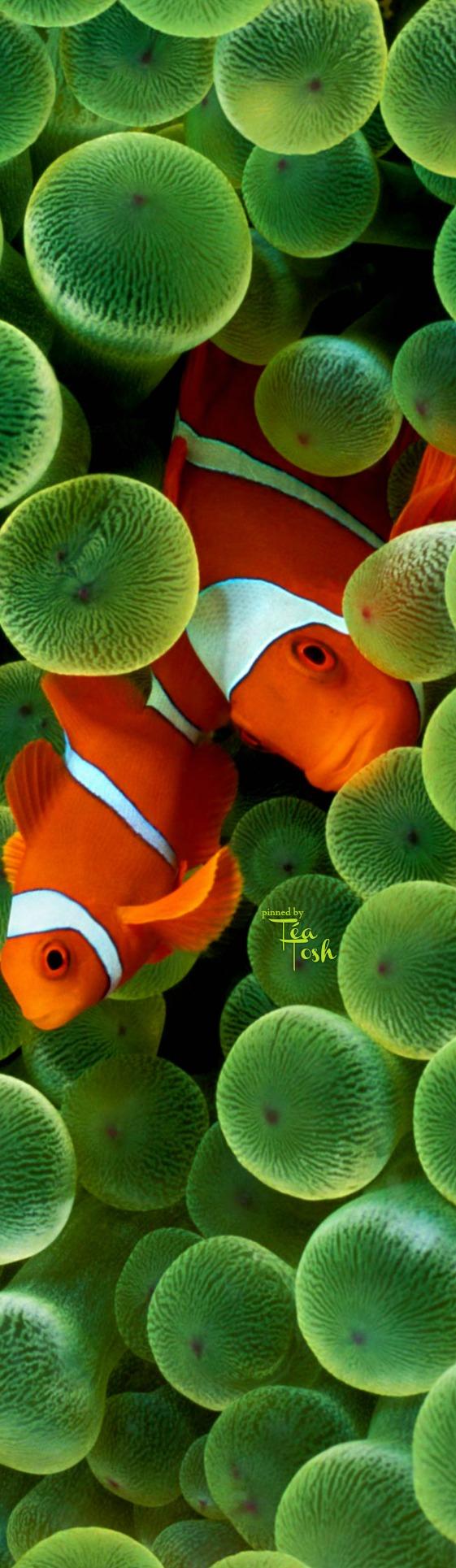 ❇Téa Tosh❇ Clown Fish