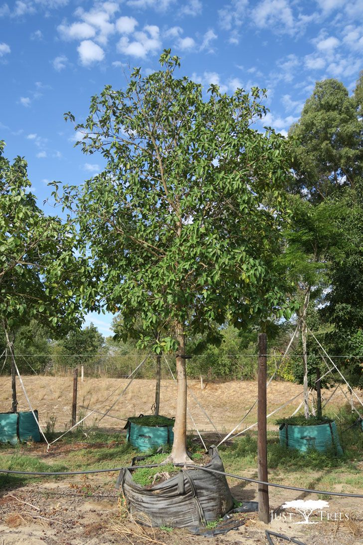 This Large Fast Growing Evergreen Is Indigenous To South Africa And Is Suitable For Large Estates And Parks Able To Fast Growing Evergreens Evergreen Plants