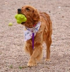 Adopt Oakley Adopted On Outside Dogs Adoption Golden Retriever