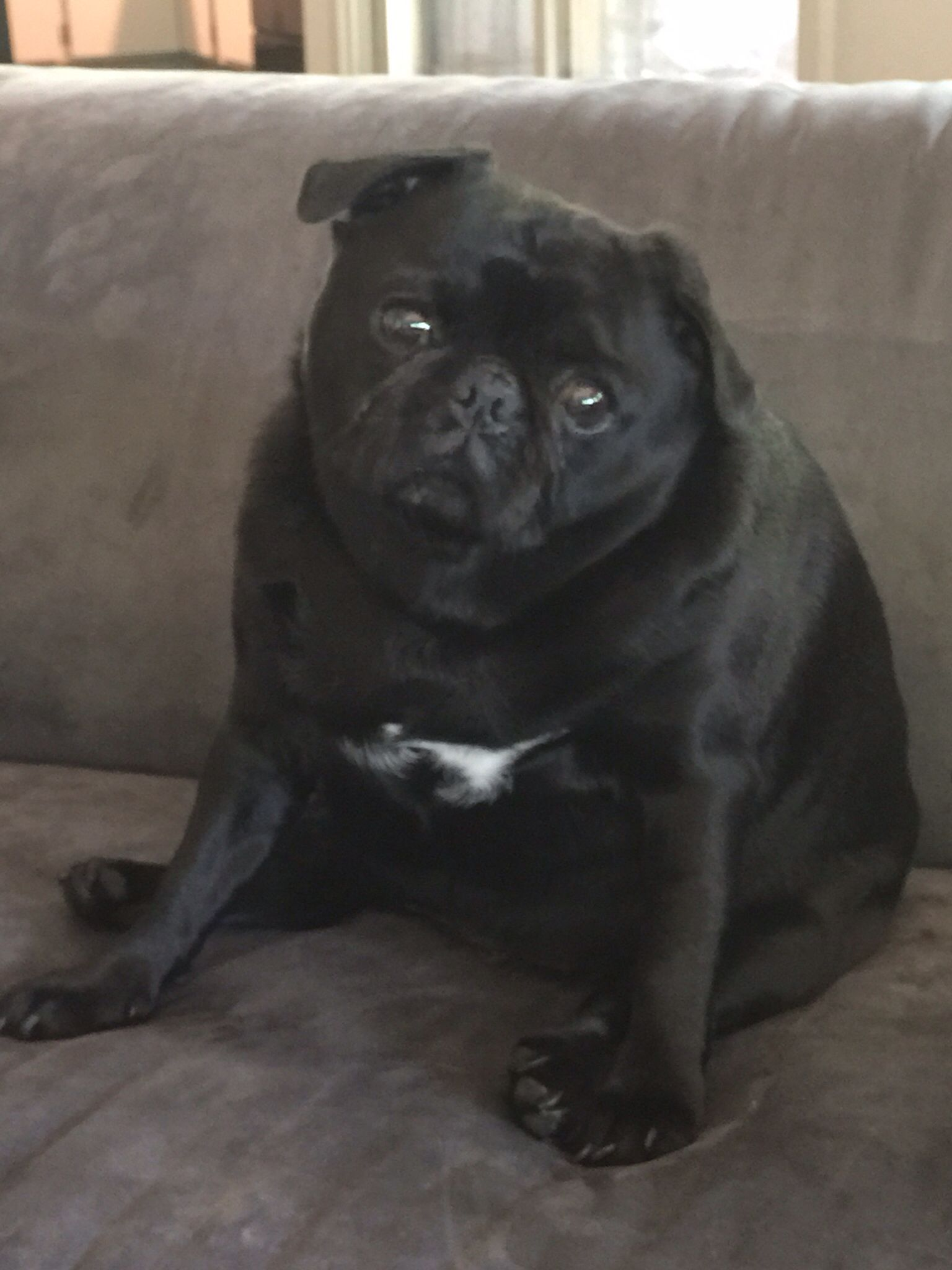 Download Black Chubby Adorable Dog - 66396040c30f57f48e6b721482fa0213  Collection_28985  .jpg