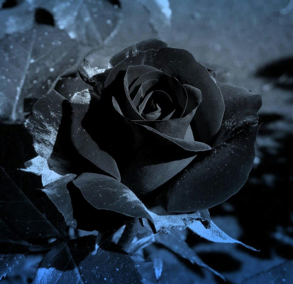 Ive always wanted black roses and this year my boyfriend got me them ive always wanted black roses and this year my boyfriend got me them done izmirmasajfo
