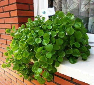Esqueje de planta del dinero Plectranthus verticillatus Money Maker