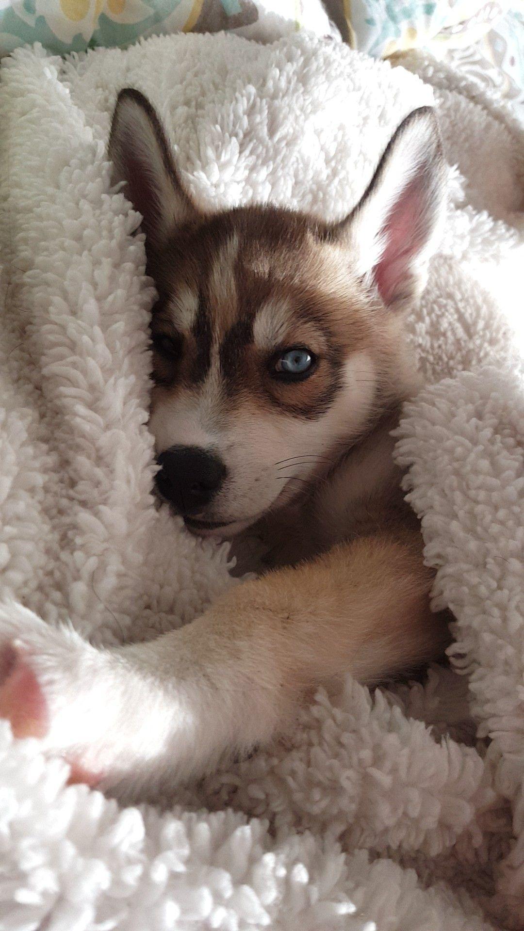My Husky Luna As A Pup Perros Bonitos Perros Husky Bebes Mascotas Bonitas