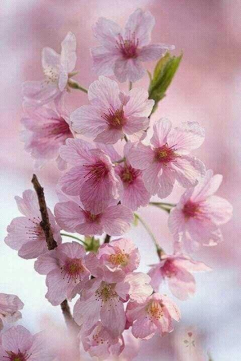 Pin By Anoi On Flores Pretty Flowers Blossom Trees Sakura Cherry Blossom