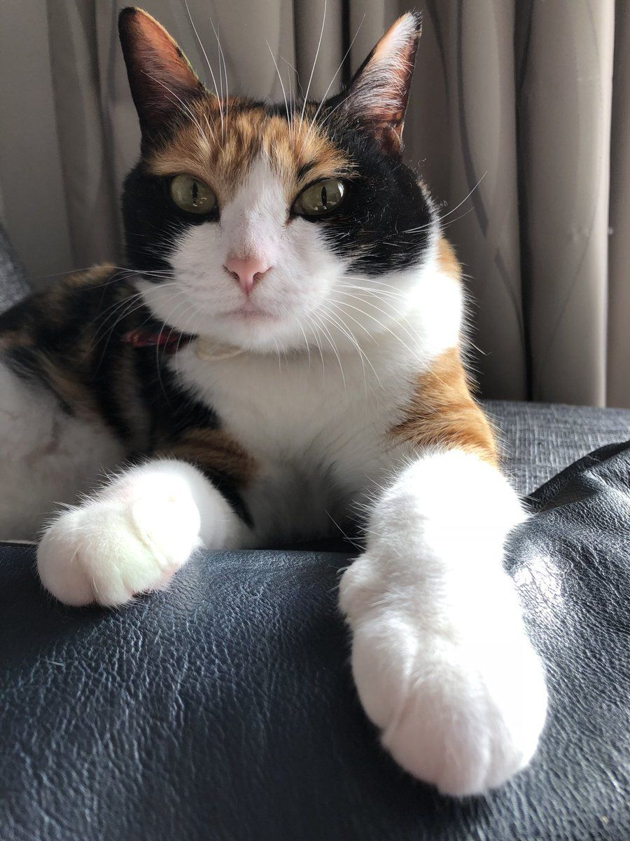 beautiful calico cat | calico cats & kittens | Pinterest | Twitter ...