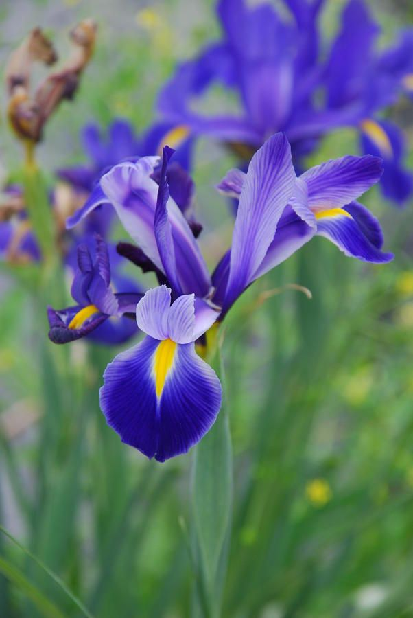 Blue Iris Flower By Susanne Van Hulst Iris Flower Photos Iris Flowers Blue Iris Flowers