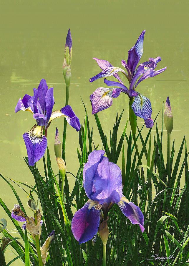 Wild Blue Flag Irises Digital Art By M In 2020 Blue Flag Iris Iris Painting Rare Flowers