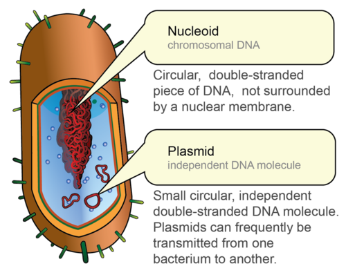 plasmids chromosomal dna molecules Chromosomal dna functions via mendelian inheritance (ie each daughter cell recieves an exact copy of chromosomal dna), while plasmid dna does not operate this way (ie if a cell with 2 plamids divides, the two daughter cells may not both receive a plasmid.