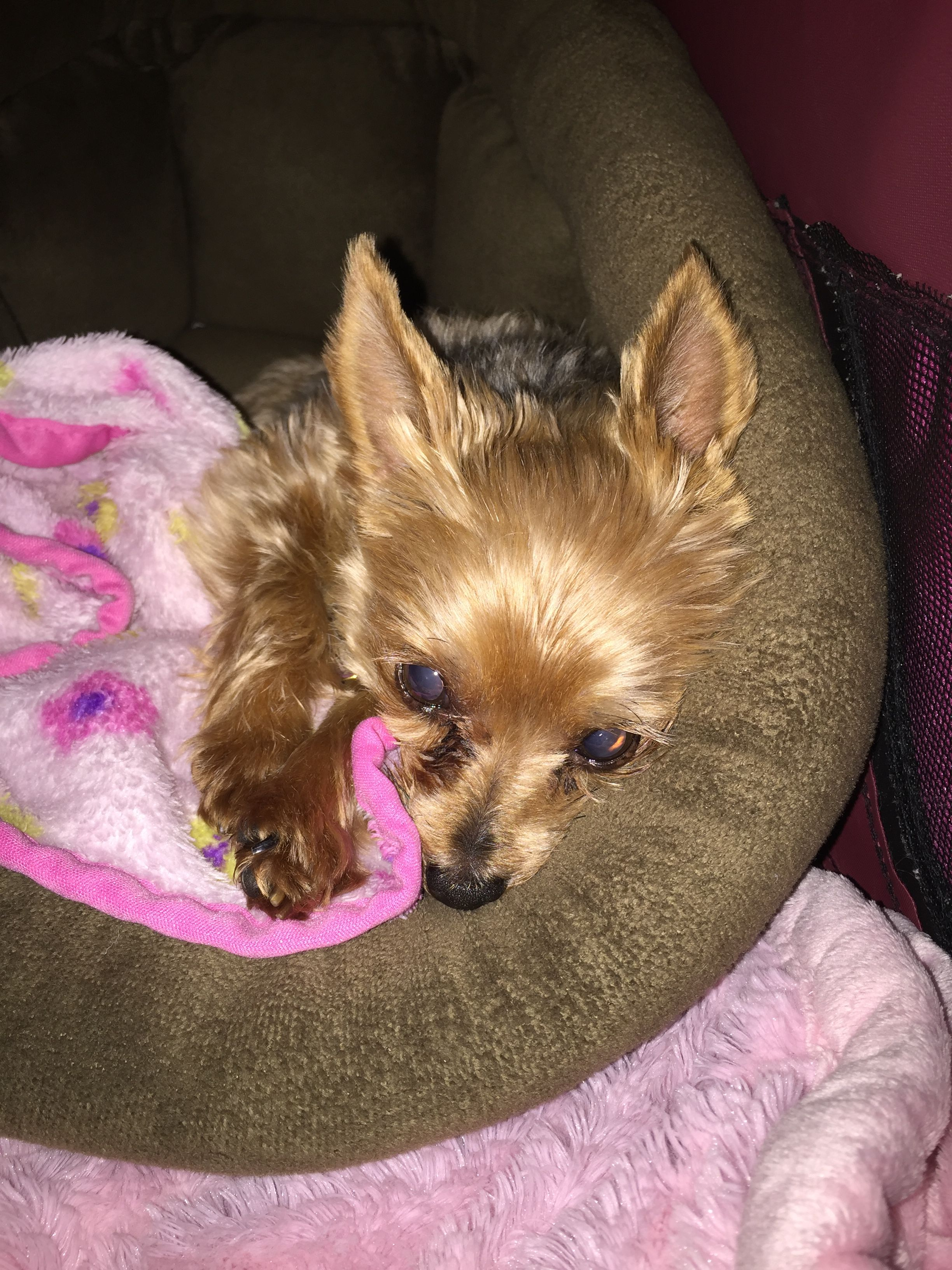 Yorkie Maddie Jo Relaxing In My Cuddle Cup Yorkie Yorkshire Terrier Dogs