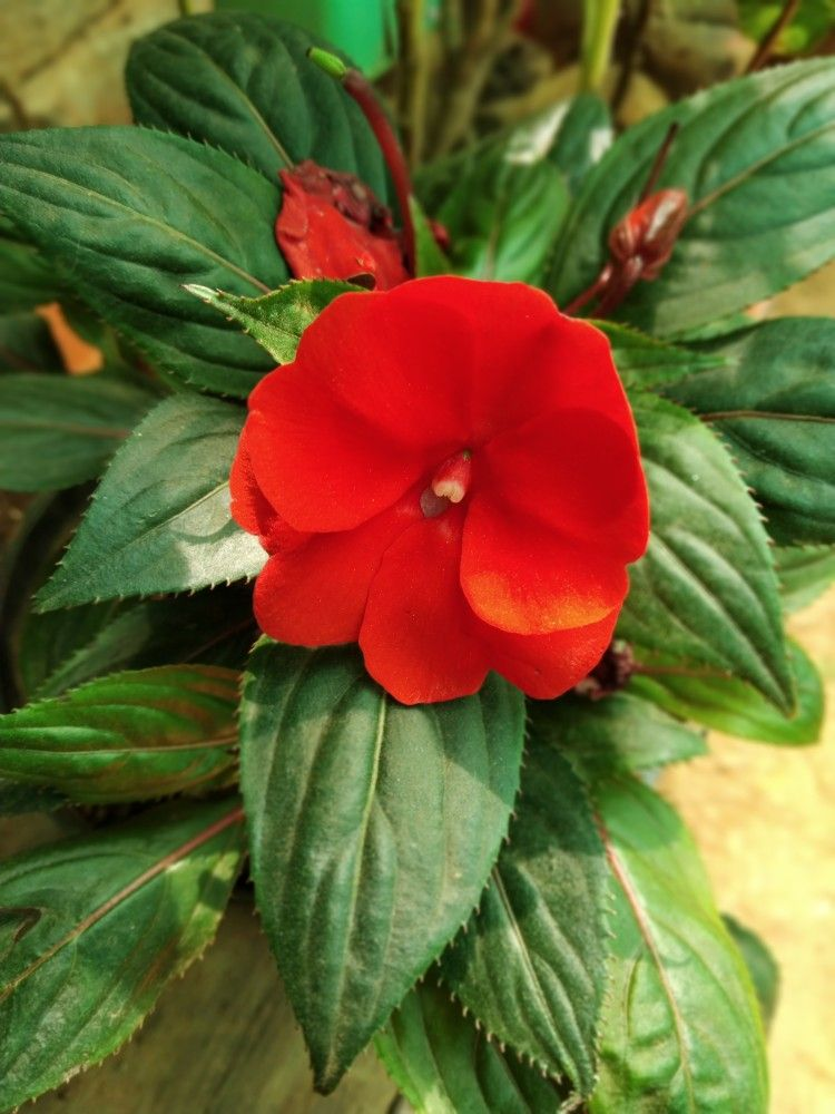 Chinese Balsam Red Rose Flower Flower Garden Flowers