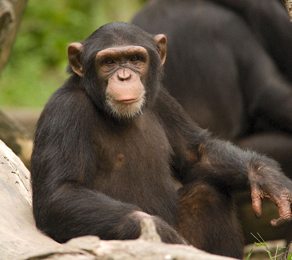 singapore zoo,animal,animals,greeting,chimpanzee,zoo,orangutang