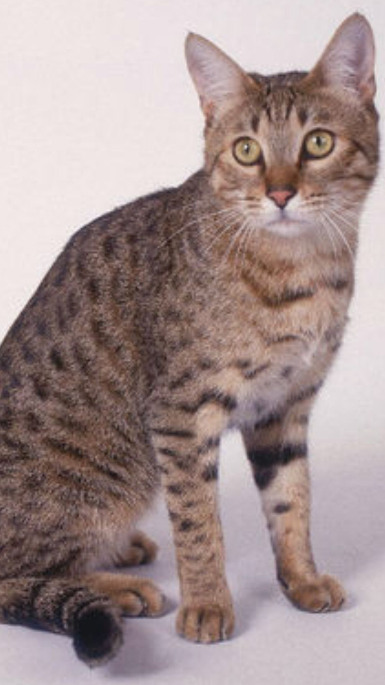 California Spangled Rare Cat Breeds Rare Cats Cat Breeds