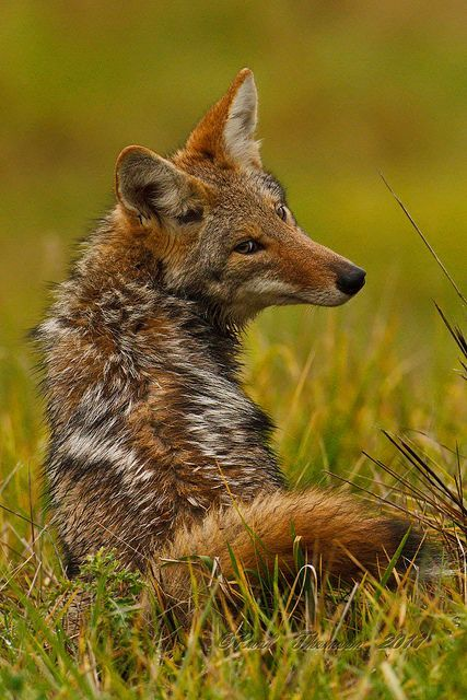animaux loups belles images