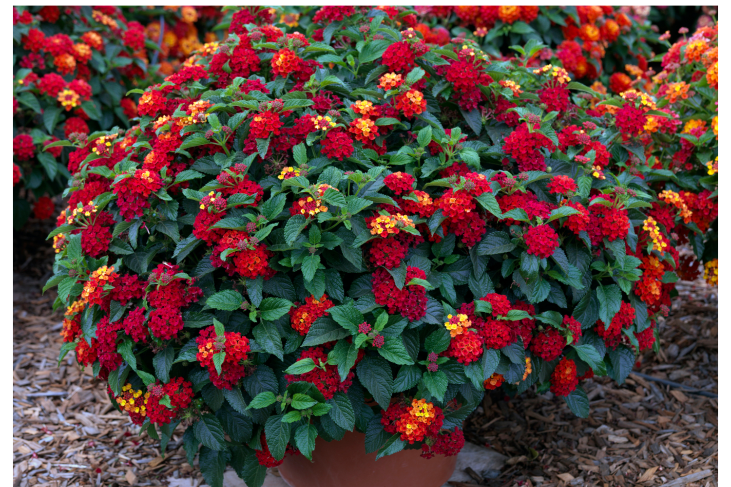 Lantana Pictures National Garden Bureau In 2020 Plants Lantana Lantana Plant