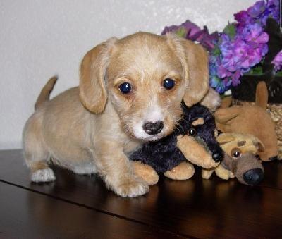 Wheaten Dachshund Dachshund Puppy Love Animals