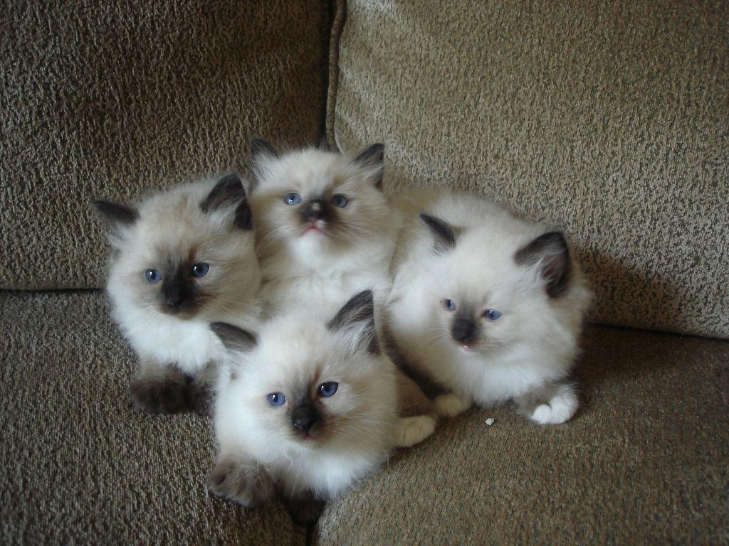 Lake Norman Ragdolls Kittens Cutest Crazy Cats Cute Cats