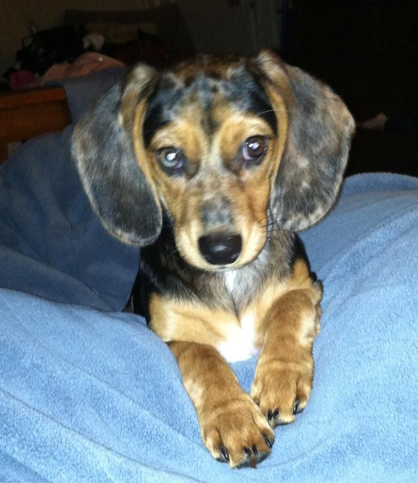 Macy My New Doxle 1 2 Beagle 1 2 Dachsund Cute Little