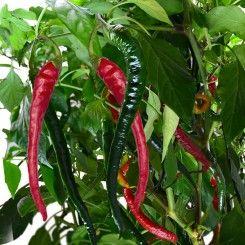 Cayenne Pepper Premium Seed Pod Kit 9 Pod Stuffed 400 x 300
