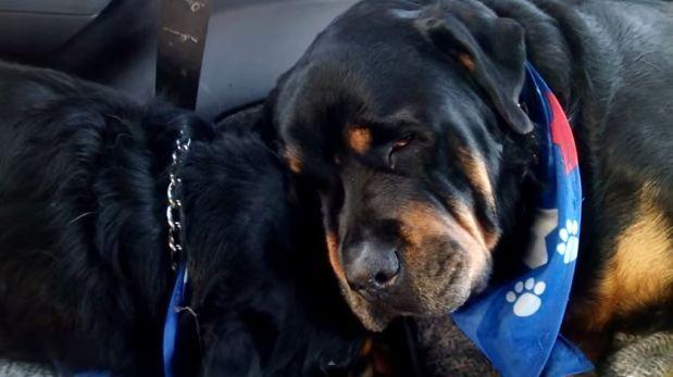YouTube: Rottweiler sufre cuando lo separan de hermano muerto