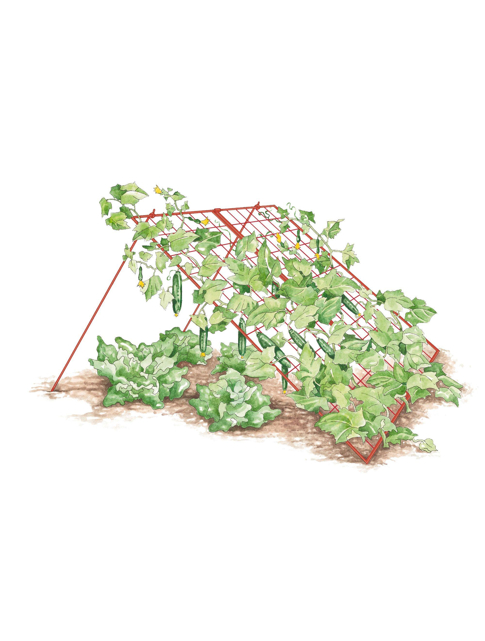 Squash Trellis - Vegetable Trellis: Wire A-Frame | Gardener's Supply. Aprovechando el cobijo de las calabazas.