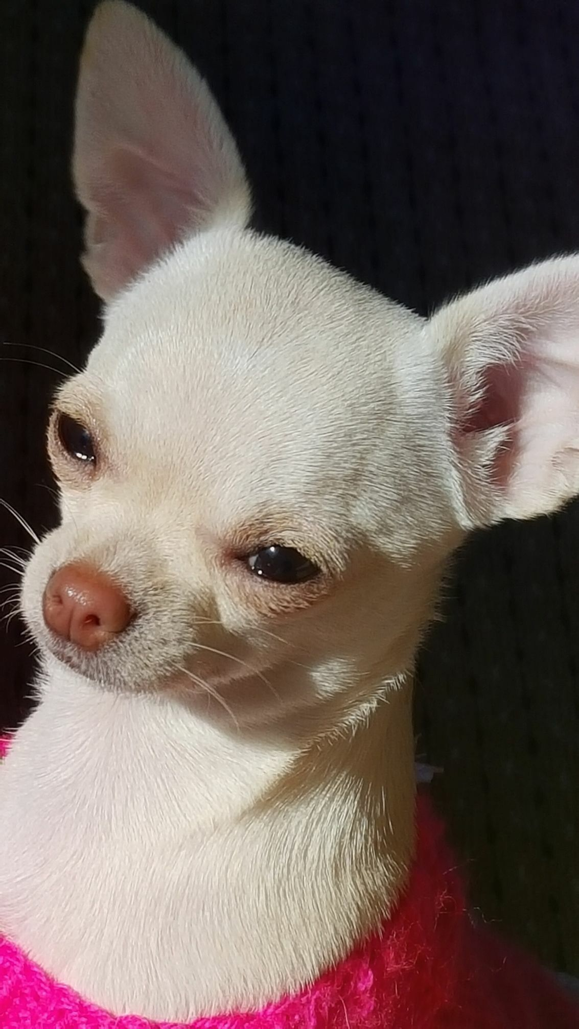 Chihuahua Mommy Chihuahua Mommy Dog Furbaby Furbabies
