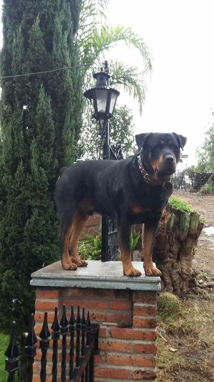 Rottweiler dogs and puppies community board pinterest