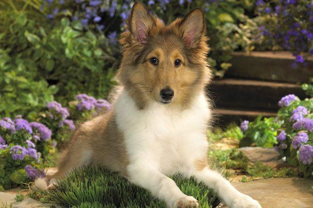 Shetland Sheepdog Sheltie Puppies For Sale Puppy Breed Info