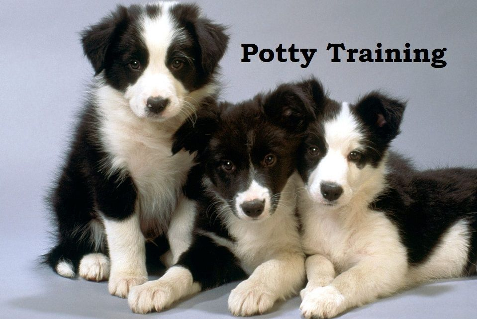 Border Collie How To Potty Train A Border Collie Border Collie