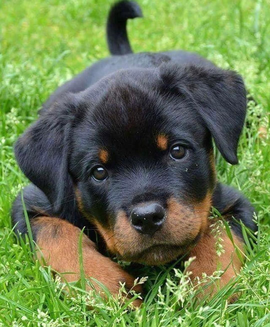 Rottweiler Loving Confident And Loyal Rottweiler Puppies