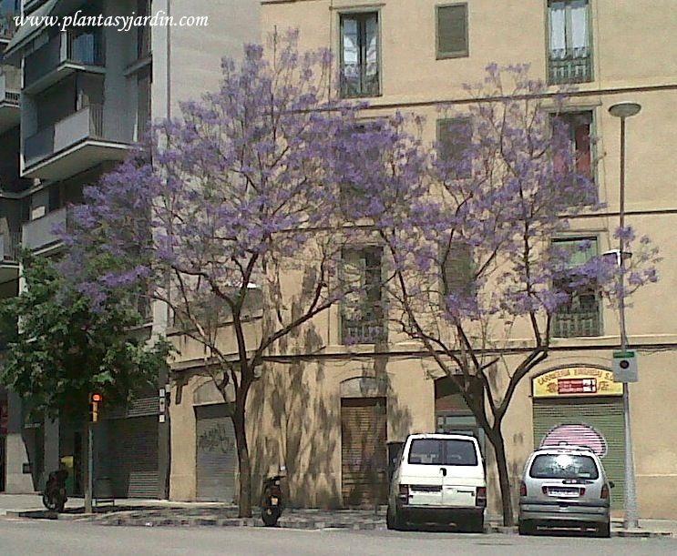 Árboles Nativos de Argentina: el Jacarandá <3