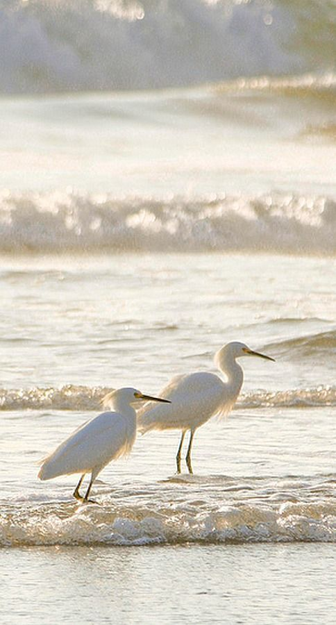 Graceful white Egrets strolling along the sun glistened white beach!
