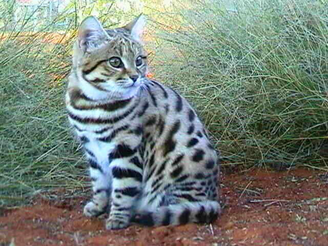 Black Footed Cat Kitten