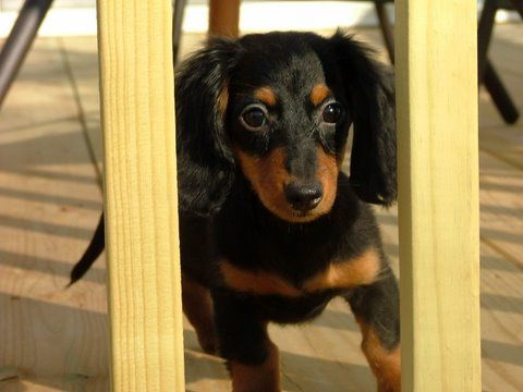 Black And Tan Long Haired Dachshund Puppy Dachshund Puppy Long