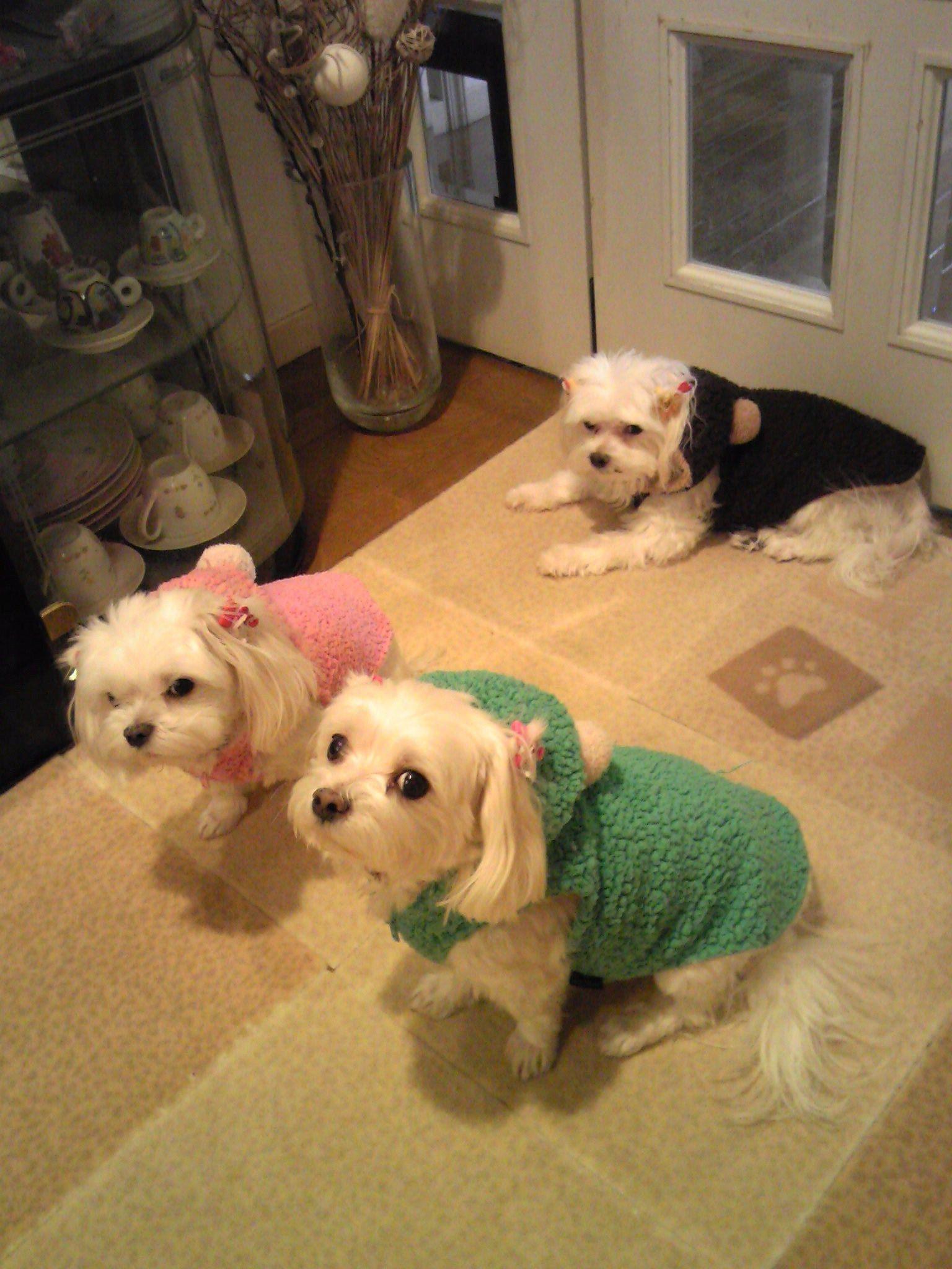 お名前 メグちゃん ナナちゃん タマちゃん 東京都在住 マルチーズ 全員メス メグ14歳 ナナ タマ12歳 実家に住んでいる3匹のわんこ 親犬 娘犬2匹の3匹 3匹ともなると四六時中お世話しなくちゃいけないので母はいつも大変そ Baby Animals Maltese