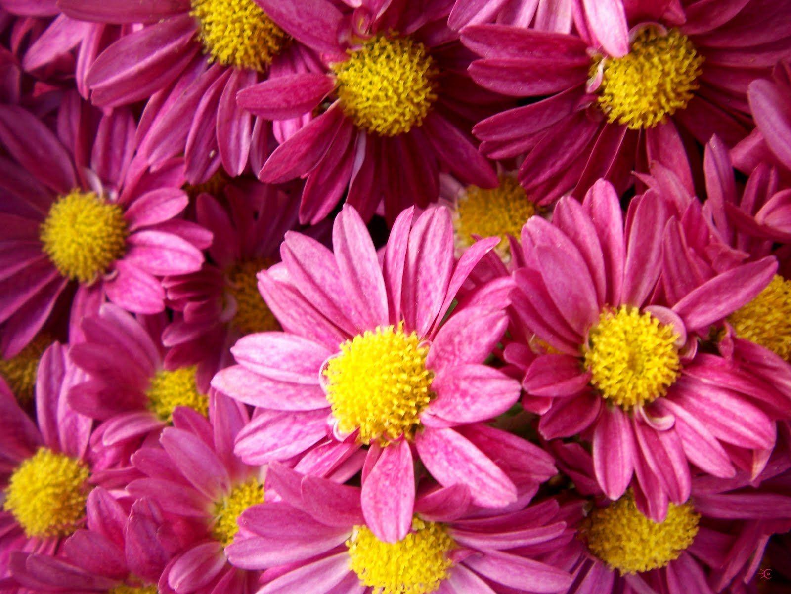 Margaritas de color rosa | <3 Flores (flowers) <3 | Pinterest | Flowers