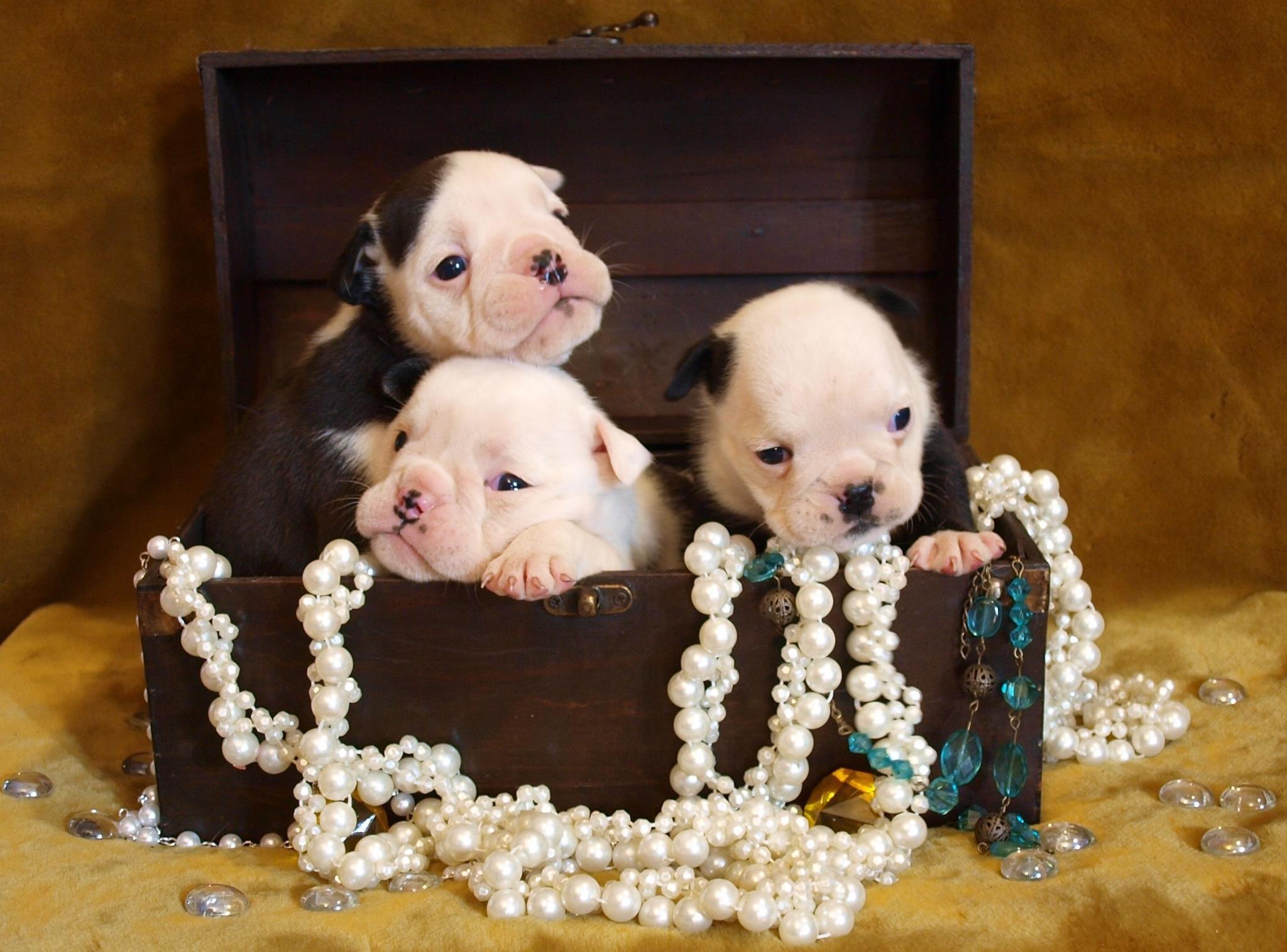 Truly Priceless Jewels Puppies Bulldog Puppies Bulldog Cute Baby Animals