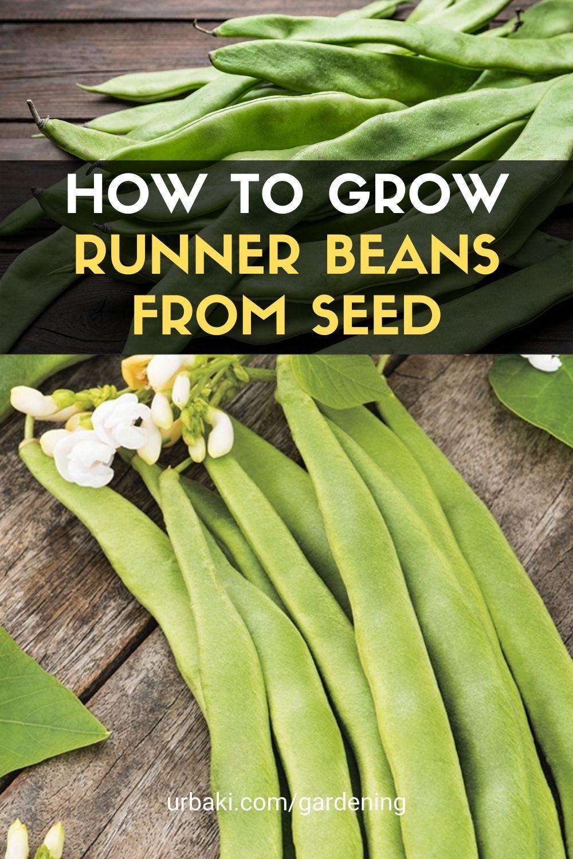 How To Grow Runner Beans From Seed Runner Beans Planting Vegetables Beans