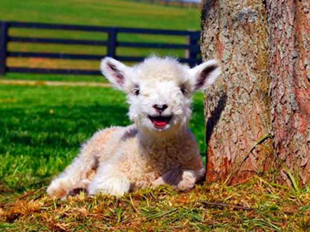 Cute Baby Lamb - wallpaper. | Lovely Creatures | Pinterest | Baby ... for Happy Baby Lamb  111ane
