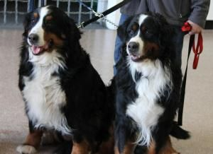 Adopt Frank And Izzy On Bernese Mountain Dog Dogs Dogs And Puppies