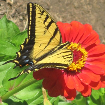 Zinnia+and+swallowtail+square