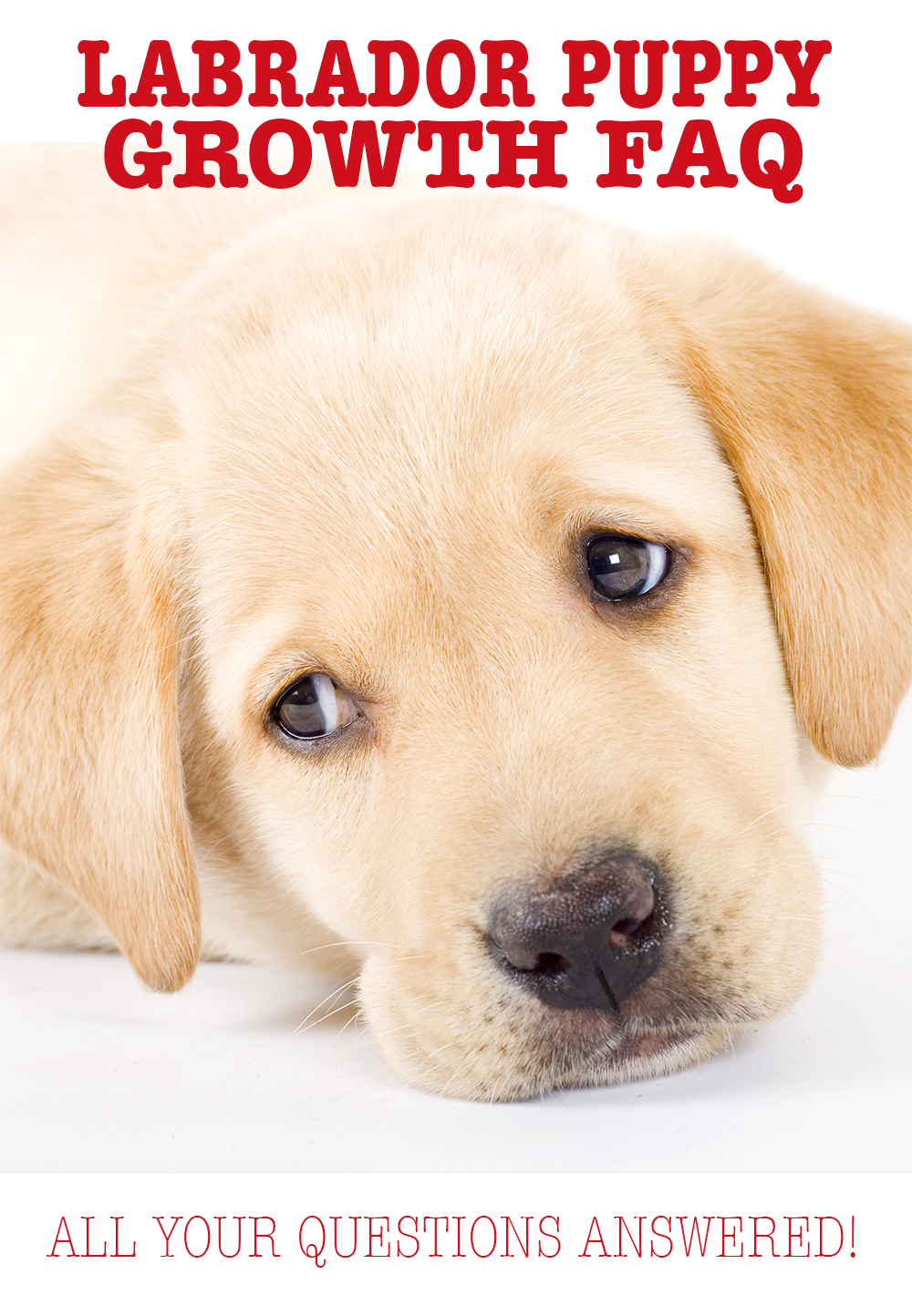 When Do Dogs Stop Growing? Labrador Puppy Growth Chart And FAQ | Labrador  retriever training, Labrador puppy, Labrador retriever