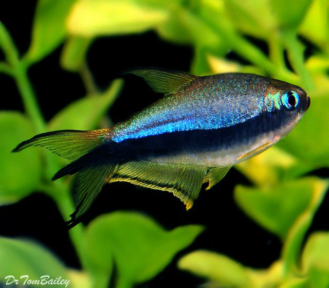A Beautiful Black Emperor Tetra From The Amazon Rainforest That